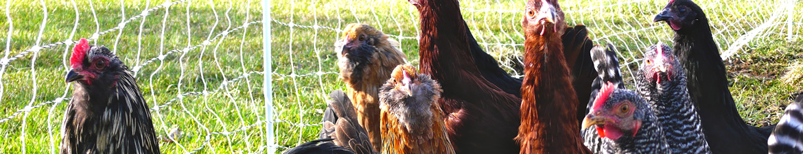 Pasture-raised chickens play an important role in the diversified farming systems the Council supports.